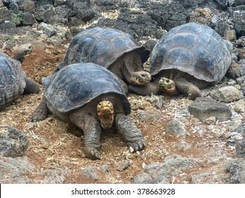 Tortoises, Ecuador.