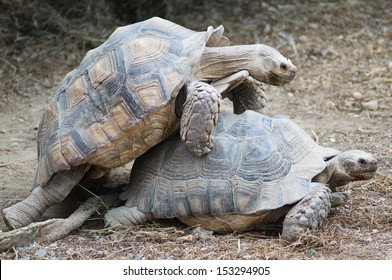 Tortoises making love in the Sigean African Reserve, France