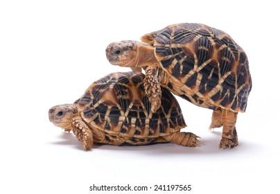 Tortoises mating isolated on white background
