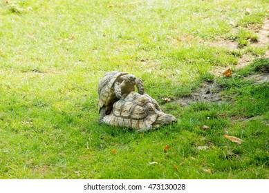 Tortoises mating on a green grass
