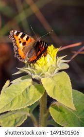 Tortoiseshell butterfly on a sunflower