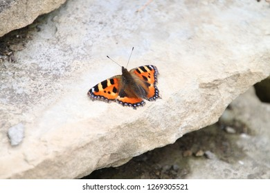 Tortoiseshell butterfly opens it's wings on a grey stone step
