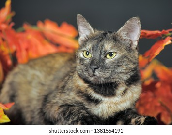 tortoiseshell cat with autumn leaves in the studio