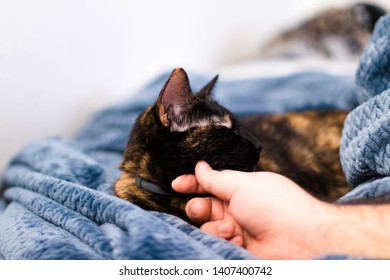 Tortoiseshell cat being petted on a blue blanket