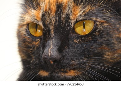 tortoiseshell cat close up