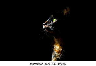 Tortoiseshell cat with incredibly green eyes on black backrgound isolated. Cat posing in a studio. Copy space