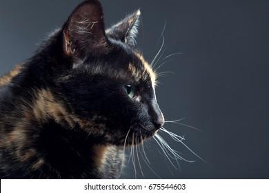 Tortoiseshell cat on grey backrgound isolated