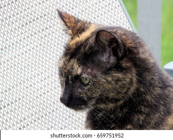 Tortoiseshell cat relaxing on porch. This particular tortoiseshell is a male which is very rare.