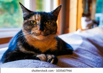 Tortoiseshell cat resting on a sofa in natural light on a sunny day