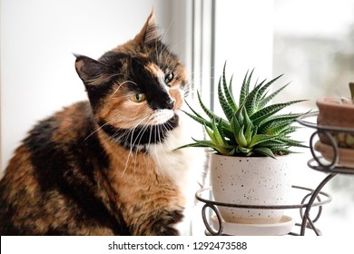 Tortoiseshell cat sitting on a white window sill. Tricolor cat eating plants (succulents) in a pot on the window sill