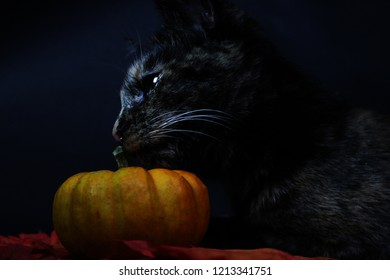 Tortoiseshell Cat smelling a pumpkin. Halloween. October.Autumn leaves.