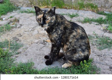 tortoiseshell color cat