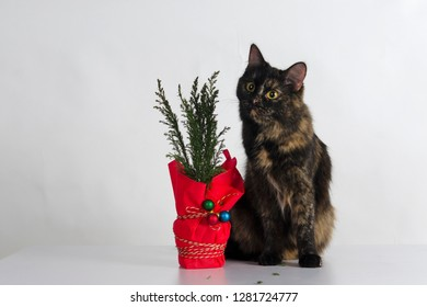 Tortoiseshell colored cat sits near plant wrapped with red paper decorated with colorful new Year Tree balls in studio against white background.