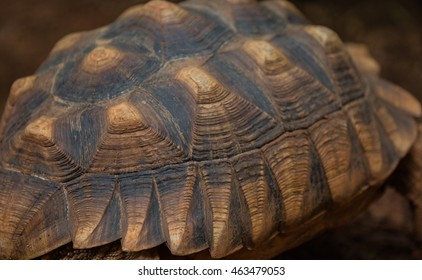 Tortoiseshell, Focus on carapace.