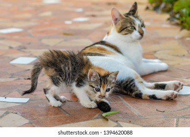 Tortoiseshell kitten curiosity playing with tail of mother cat but focused on a green leaf