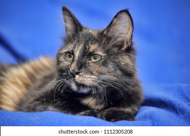 tortoiseshell kitten on a blue background