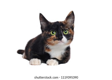 Tortoiseshell little cat laying against white background
