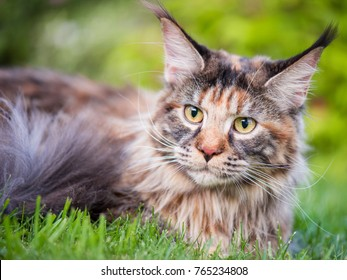Tortoiseshell Maine Coon cat with leash in backyard. Young cute female cat wearing a harness. Pets walking outdoor adventure on green grass in park.