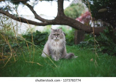 tortoiseshell maine coon cat standing on the lawn in front of a tree
