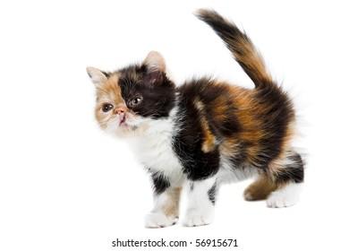 Tortoiseshell persian kitten isolated on white background