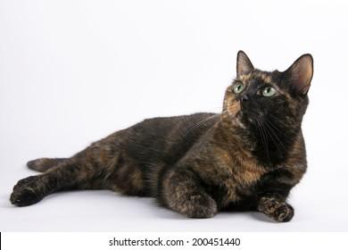 Tortoiseshell Tabby Cat female on white background