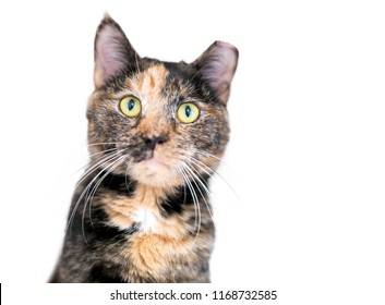 A Tortoiseshell tabby cat, also known as a Patched tabby, with its ear tipped to indicate that it has been spayed and vaccinated