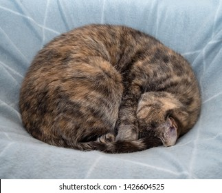 Tortoiseshell tabby grey and ginger cat sleeping curled up into a ball with head under forearm on grey and white blanket