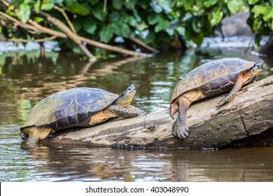 Tortuguero National Park, Costa Rica, turtles sunbathing