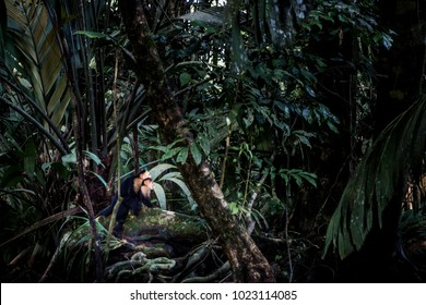 Tortuguero Rainforest and Capuchin Monkeys, Costa Rica, Caribbean Coast, Central America