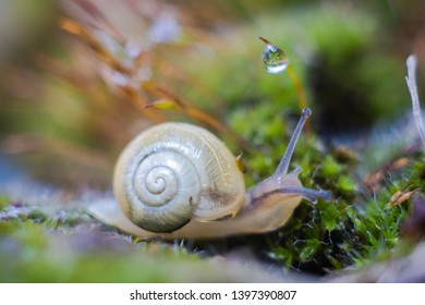 Tortula ruralis, commonly known as twisted moss and star moss,with a snail.