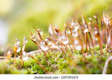 Tortula ruralis, commonly known as twisted moss and star moss,is a species of moss with a cosmopolitan distribution.