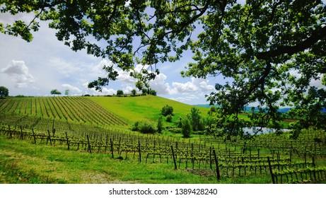 Toscany green wine yards plantations