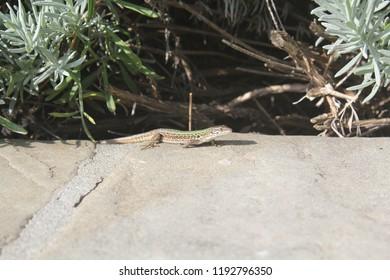 toscany italy salamander
