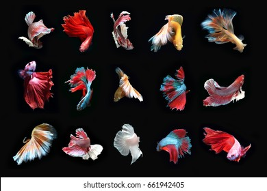 Total beautiful Fighting fish.