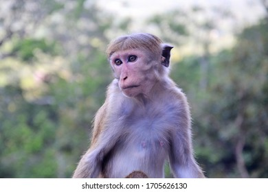 Total of three species of monkeys are found in Sri Lanka. Langurs represented by two species namely Tufted gray langur and Purple-faced leaf monkey and one macaque species namely Toque macaque.