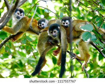 Totally cute little squirrel monkeys of Costa Rica