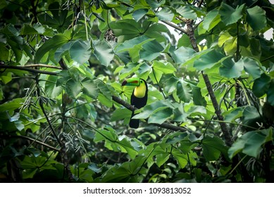 A toucan bird with its magnificient beak sits in a tree in the jungle