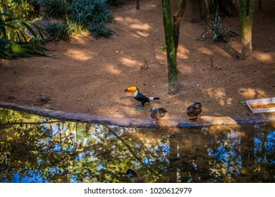 2dcd836f004f Toucan bird in Bird park in Foz Do Iguazu