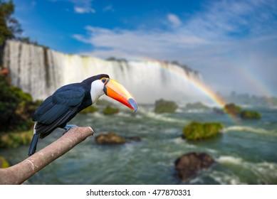 Toucan at the majestic cataratas Iguasu Falls, one of the world wonders in Foz do Iguacu, Brazil