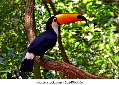 Toucan near Iguazu Falls