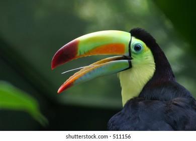 Toucan Portrait
