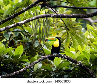 a toucan sits on a tree limb ready to partake in a delicious meal of bean pods in the tree