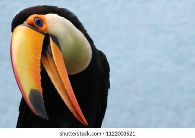 Toucan Toco with beak open