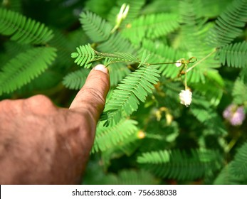 Touching the sensitive leaf of Mimosa pudica (touch-me-not) with a finger.