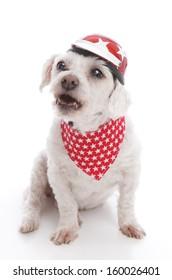 Tough biker dog wearing a red motorcycle helmet and bandana barking orders or being menacing.  White background.