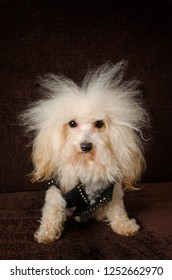 tough fluffy apricot poodle in a biker jacket with wild hair
