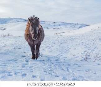 Tough and rugged Icelandic horse