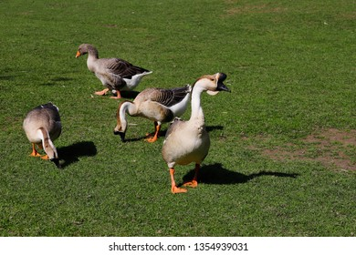 Toulouse and chinese domestic geese on the green meadow. Photography of nature and wildlife.