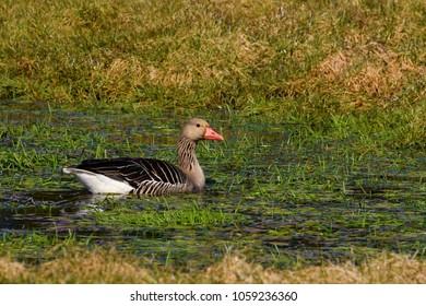 Swan Birds Geese Images Stock Photos Vectors Shutterstock