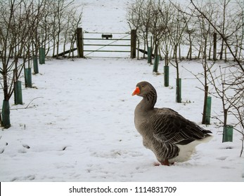 A Toulouse goose out in the snow in an orchard
